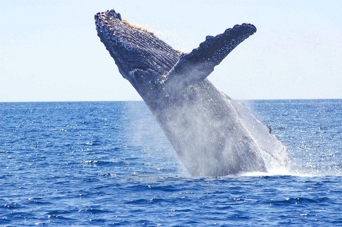 où voir les baleines sur la côte pacifque en colombie