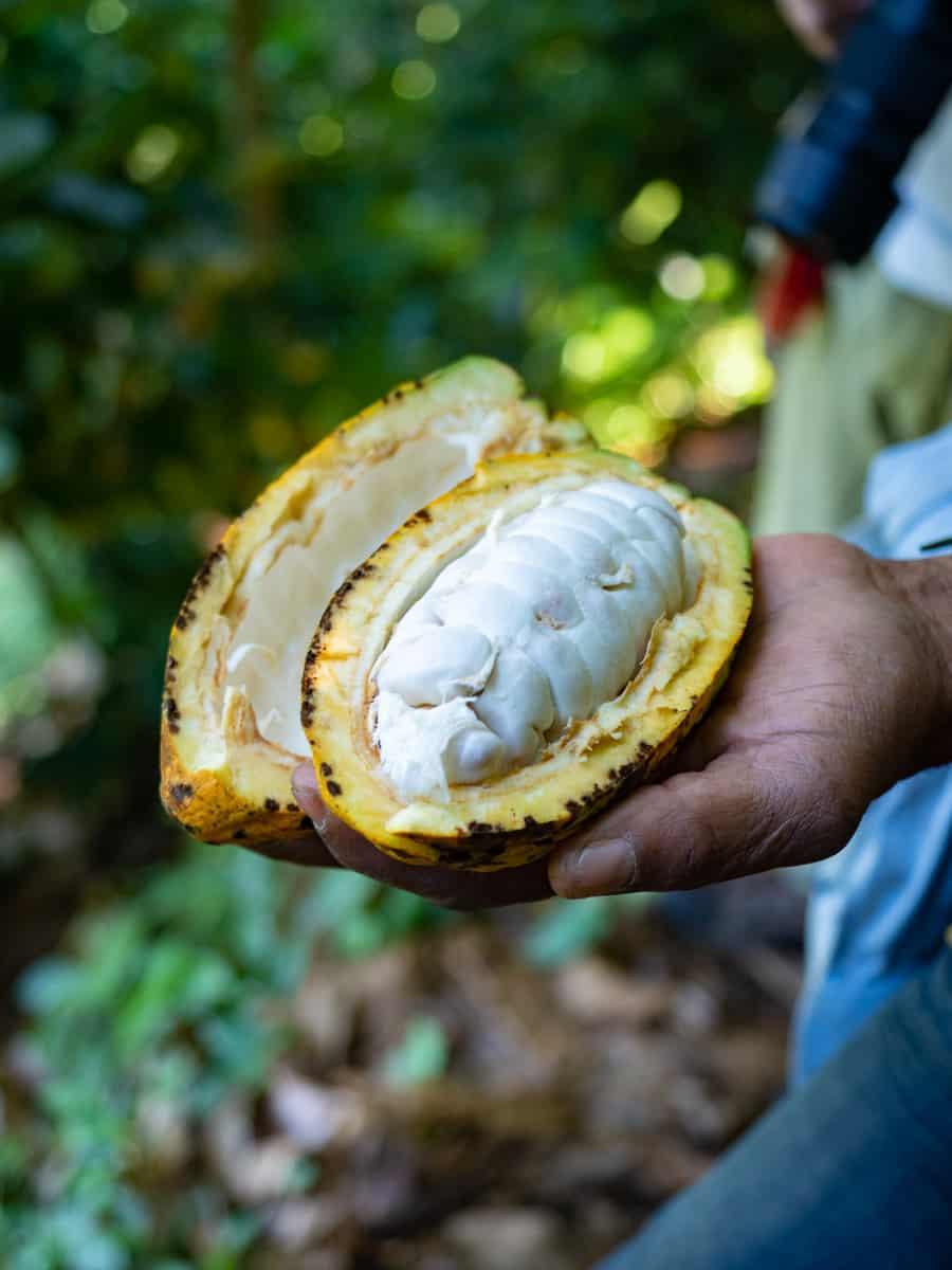 Fruit du Cacao à Minca dans la Sierra Nevada de Santa Marta en Colombie