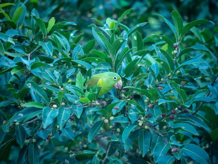 Oiseaux à Minca dans la Sierra Nevada de Santa Marta en Colombie
