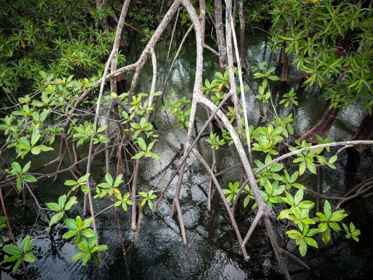 mangrove au parc d'utria près de nuqui et bahia solano sur la côte pacifique de colombie