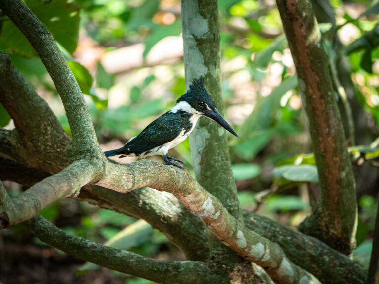 Martin pêcheur, faune et animaux sauvages dans la région du Casanare, Llanos en Colombie
