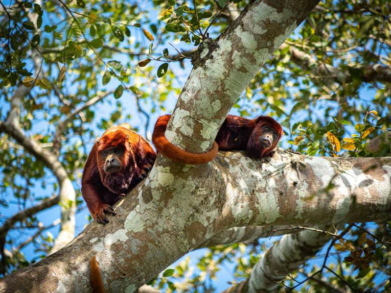 Singes hurleurs, faune et animaux sauvages dans la région du Casanare, Llanos en Colombie