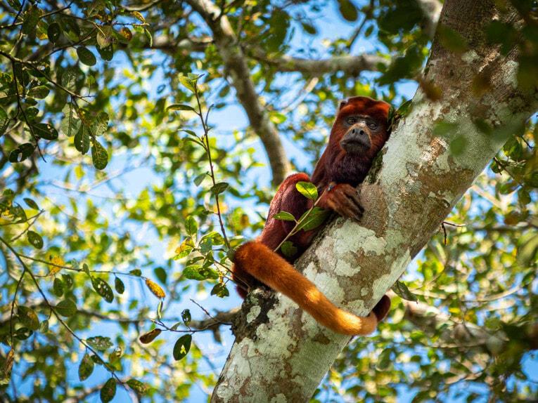 Singe hurleur, faune et animaux sauvages dans la région du Casanare, Llanos en Colombie
