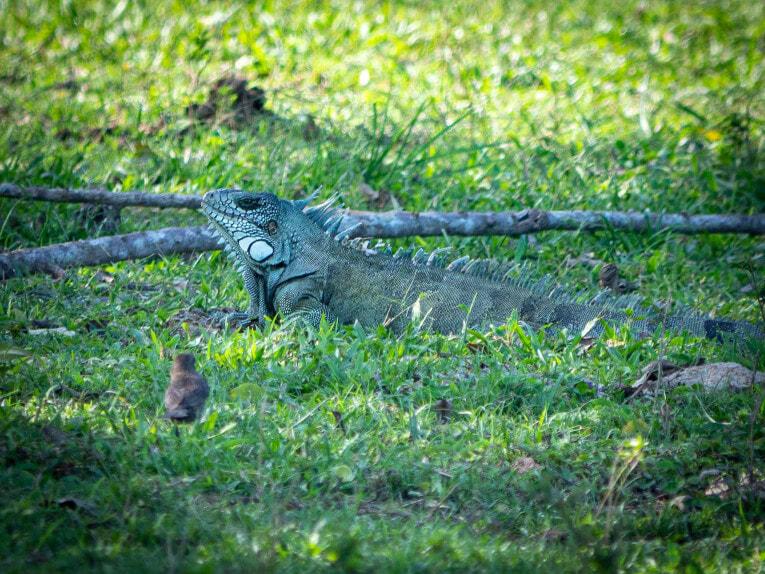Iguane, faune et animaux sauvages dans la région du Casanare, Llanos en Colombie